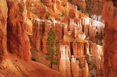 Sentinel - photo by David Pearce - A large pine stands alone at daybreak, rooted among the hoodoos on a crumbling slope in Bryce Canyon National Park.