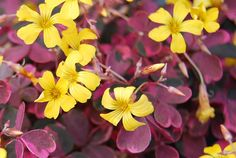 Oxalis Plum Crazy Yellow. Variegated oxalis that can tolerate heat and sun... so beautiful even without the flowers!