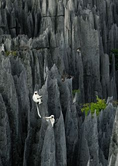 Lemurs, Madagascar. #FairfieldGrantsWishes
