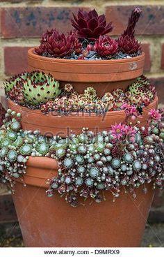 Sempervivum. Houseleek display in flower pots at RHS Wisley Gardens. England - Stock Image