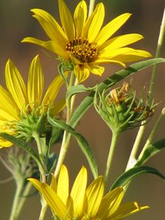 Helianthus maximiliani (Maximilian sunflower) - perrenial tall sunflower - full sun - deciduous - host plant for bordered patch butterfly and maybe others that use sunflowers