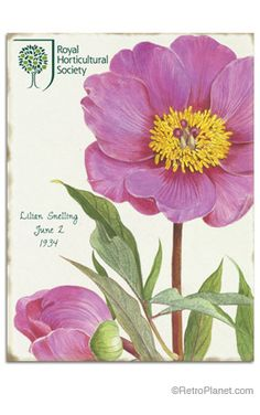 Lilian Snelling Pink Peony Tin Sign