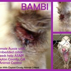 BAMBI - Female Aussie with embedded collar. - BAMBI - Female Australian Shepherd with severely embedded collar.