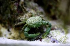 Mithraculus sculptus - Emerald crab