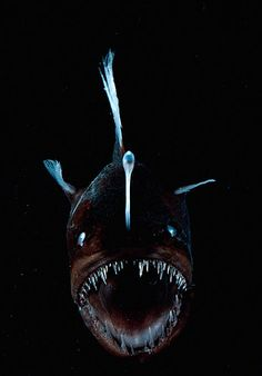 Deep Sea Anglerfish: A fleshy growth, or lure, projects from this fish's head and attracts prey. When touched, it triggers the anglerfish's teeth to attack.