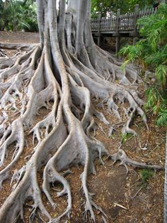 nature's artistry in roots!!!