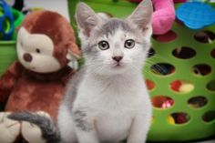 ADOPTED - Charm - URGENT - City of Corsicana Animal Shelter, Corsicana, Texas - ADOPT OR FOSTER - 8 WEEK OLD Female Domestic SH KITTEN - Tiny Charm is a lovely little girl looking for her forever home after being surrendered with her brother, Merle, at the Corsicana Animal Shelter. This sweetheart is good already litter box trained, good with other cats and very CUTE!
