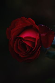 Floral Wallpaper Red, garden roses and rose – – buy in store Uwalls Pink Rose Flower, Beautiful Rose Flowers, Exotic Flowers, Pink Flowers, Flower Images, Flower Pictures, Single Red Rose, Flower Close Up, Rosa Rose