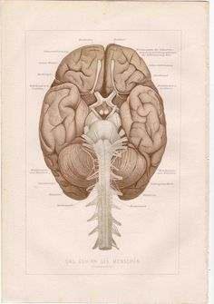 1903 brain anatomy.