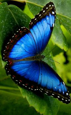 Types of Butterflies - Butterflies are one of the most adored insects for their enchanted beauty and representation of good luck and positive change. Morpho Butterfly, Butterfly Flowers, Blue Butterfly, Blue Morpho, Butterfly Wings, Papillion Butterfly, Butterfly Kisses, Types Of Butterflies, Flying Flowers