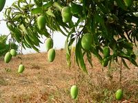 Growing mangos: Mangoes are a strictly tropical fruit. They love the tropics. The best climate to grow mangoes is frost free, with cool, dry winters and steamy, hot summers.  Mangoes like growing in light and free draining soils, they don't need rich soil. You actually get the best crops on soils of somewhat lower fertility.
