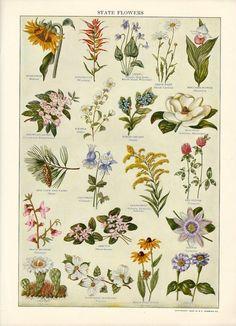 1934 - schöne Abbildung der zwanzig Zustand Blumen veröffentlicht eine Antik-Seite von Websters New International Dictionary.  Größe: 9 x 11 3/4