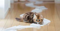 Cara Melatih Anak Kucing Persia | Tazesiru Cat's House