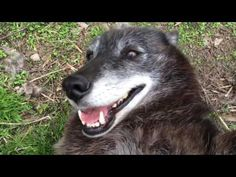 A Very Happy Wolf : Video Clips From The Coolest One