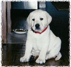 Our White Lab Breeding Program