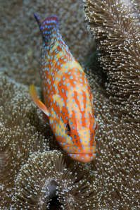 Image detail for -Coral trout or grouper (Plectropomus leopardus), Raja Ampat Islands, Irian Jaya, West Papua, Indonesia