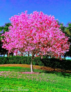 When i was born, my grandparents planted one of these in their yard. The tree & I grew up together. When we own our first home, i will plant one for each of my daughters <3