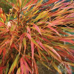 Japanese Forest Grass Nicholas, Hakonechloa macra - Spring Perennials from American Meadows Perennial Grasses, Ornamental Grasses, Spring Perennials, Shade Trees, Shade Plants, Acer, Shade Garden, Garden Plants, Hakone Grass