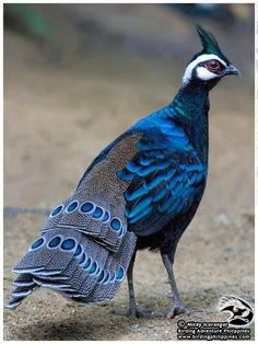 Palawan Peacock-Pheasant (Polyplectron napoleonis) or Blue Peacock Pheasant
