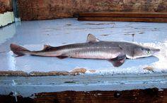 Squalus acanthias Spurdog/Spiny Dogfish Gulf Of Alaska, Marine Fish, Freshwater Fish, Summary, Foods, Sea, Food Food, Food Items, Abstract
