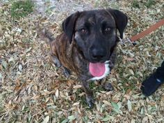 Meet Tia a Petfinder adoptable Plott Hound Dog | Dallas, TX | This is Tia. She is a 1 year old Plot Hound. At 1 year she has already had a litter AT LESS THAN A...
