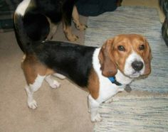 Braden is my name and I am all beagle. I need a fenced-in back yard or a dog run because I love to put my nose to ground and follow it. I know I wouldn't stay home, there are too many smells out here for me to enjoy! I've had my shots updated and...