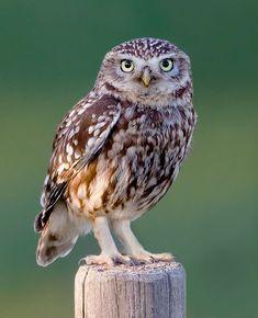 Bird photo: Athens vidalii / Little Owl Beautiful Owl, Animals Beautiful, Cute Animals, Animals And Pets, Cute Baby Owl, Baby Owls, Owl Photos, Owl Pictures, Owl Bird