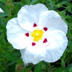 Cistus x dansereaui 'Decumbens', Rock rose plants for sale, Urban Jungle. Evergreen Shrubs, Trees And Shrubs, Shrubs For Sale, Rock Rose, Planting Roses, Plant Sale, Late Summer, Green Leaves, White Flowers