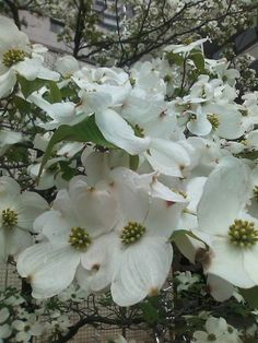 Dogwood.  Mine are in bloom.  So gorgeous.