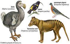 De-extinction - reviving lost species through selective breeding. Most Endangered Animals, Extinct Animals, Rare Animals, Prehistoric Animals, Extinct Birds, Strange Animals, Endangered Species, Animal Quiz, Animal Facts