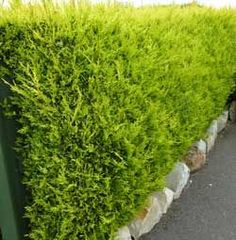 Leylandii Castlewellan Gold Hedge