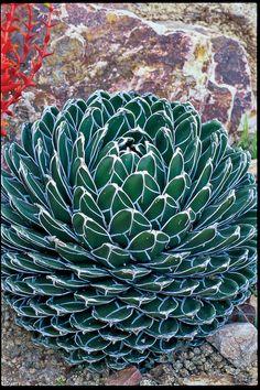 A. victoriae-reginae