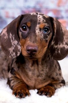 Dachshund dog portrai dog portraitYou can find Weiner dogs and more on our website. Weenie Dogs, Dachshund Puppies, Cute Dogs And Puppies, Pet Dogs, Pets, Daschund, Dapple Dachshund Miniature, Dachshund Clothes, Miniature Dachshunds