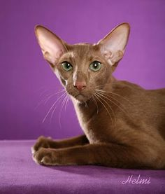 Absolutely beautiful cats on this page.and it tells what breed each one is. Cornish Rex, Devon Rex, Kittens Cutest, Cats And Kittens, Kitty Cats, I Love Cats, Cute Cats, Sphynx, Oriental Cat Breeds