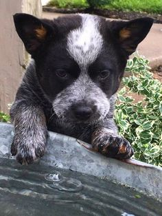 Merry Christmas to all. This is a working dog in the making. Cute Puppies, Dogs And Puppies, Adorable Dogs, Austrailian Cattle Dog, Blue Heelers, Cattle Dogs, Dog Rules, Working Dogs, Dog Pictures