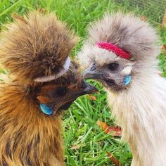 Oh my god I put headbands on my chickens so they could see.... #letsgetphysical…