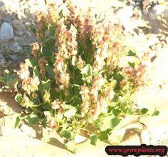 """les plantes médicinales du Sahara: les bienfaits de l""""oseille sauvage"""
