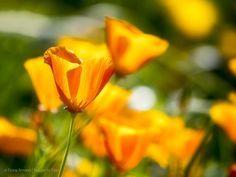 Kalifornischer Goldmohn, Pioniergewächs und Gewinner des Klimawandels. Flowers, Plants, Floral Photography, Summer Flowers, Flower Pictures, Poppy, Shade Perennials, Plant, Royal Icing Flowers