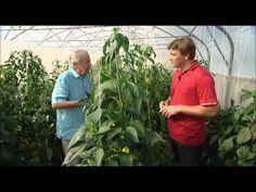 Pestovanie papriky - ako pestovať papriku - VIDEO Ako sa to robí.sk