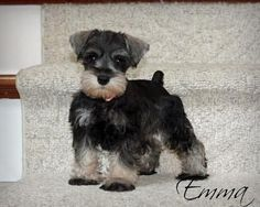 Miniature schnauzer puppy  Schnauzersofstonebrooke.com #MiniatureSchnauzer