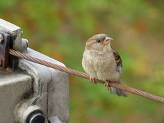 House sparrow on a wire. https://www.flickr.com/photos/tietoukka/33289577522/