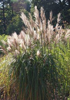 Gräser sind für jeden Gartentyp geeignet, egal, ob Naturgarten oder formaler Garten. Sie bieten Sichtschutz, sind pflegeleicht und sehen das ganze Jahr über toll aus.