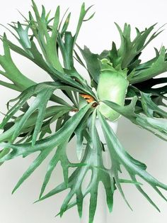 Unique kokedama samambaia Ball Ideas for Hanging Garden Plants selber machen ball Green Plants, Air Plants, Indoor Plants, Trees To Plant, Plant Leaves, Fern Plant, Staghorn Fern, Cactus, Interior Plants