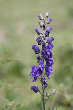 Aconitum - Monkshood Also available in white Disney Scrapbook, Cut Flowers, Walkway, Purple, Nature, Plants, September, Language, Gardening