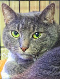 Meet 5-461 CLEO an adoptable Domestic Short Hair looking for a forever home. If…