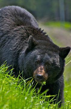 A black bear munching on some grass
