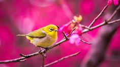 bird tree blossom flower spring pink fruity HD wallpaper