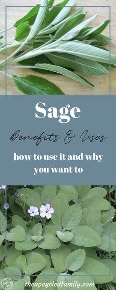 Sage, it's nothing new I know. But what if I told you it is something you want to pull out more than once a year on Thanksgiving? From cholesterol levels to stress levels sage is one herb you might just want to consider for your natural health goals.