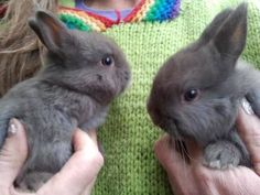 gumtree Dwarf Baby, Dwarf Bunnies, Netherland Dwarf, Black Bunny, Baby Bunnies, Rabbit, Mom, Pets, Nature