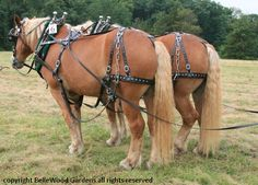 In 1887, the American Association of Importers and Breeders of Belgian Draft Horses was founded in Wabash, Indiana to register and keep track of all Belgian Draft Horses. Today, the Belgian is the most numerous breed of draft horse in the United States. BelleWood-Gardens - Diary. American Belgian draft.
